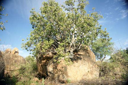 Tree growing on rock Stock Photo
