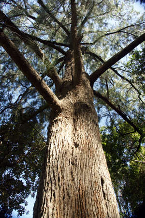Pine presence Stock Photo
