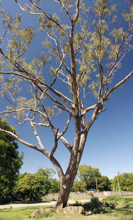Single Gum Tree