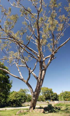 Single Gum Tree