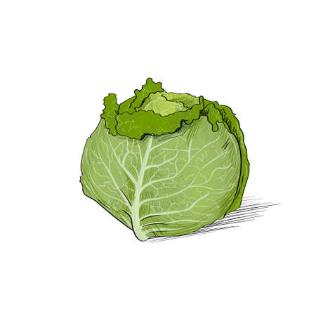 leaf lettuce: cabbage color sketch draw isolated over white background