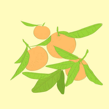 mandarin: mandarin cirus fruit with green leaves vector
