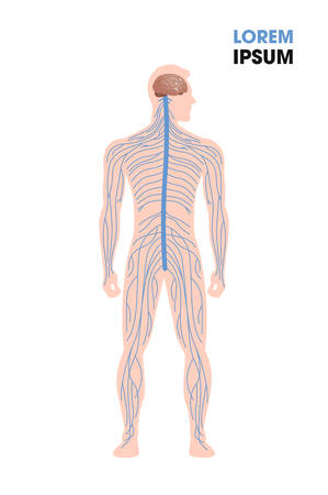 human nervous system parasympathetic sympathetic nerves connected inner organs through brain and spinal cord medical poster full length flat vertical copy space vector illustration