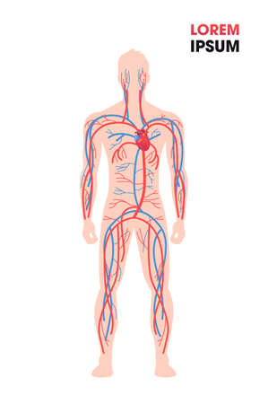 human arterial venous circulatory system blood vessels medical poster full length flat vertical copy space vector illustration