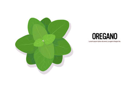 realistic oregano tasty fresh herb green leaves healthy food concept horizontal copy space vector illustration
