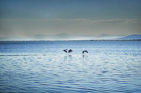 Herons flying over lake Stock Photo