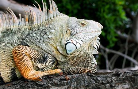 iguana adult sunning himself on a tree