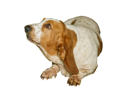 Basset Hound dog Stock Photo - 6969848