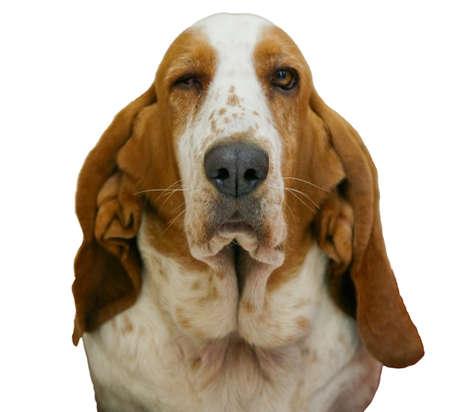 Basset Hound dog Stock Photo - 6969873