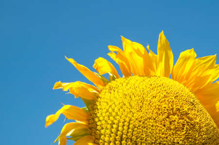sunflower in blue sky Stock Photo - 7381327