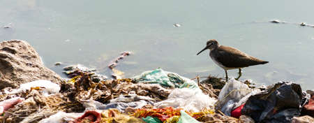 endangerment: Indian Long-billed Dowitcher, wading in water surrounded by human garbage waste. These birds are struggling to survive due to result of pollution in their feeding ground.