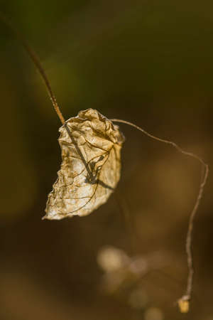 dead leaf: Dried dead leaf hanging from its branch with light background.