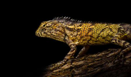 frilled: Bearded dragon lizard