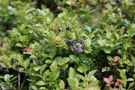 blueberry bushes: Blueberry bushes