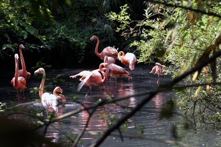 A flock of flamingos wading in shallow water photo