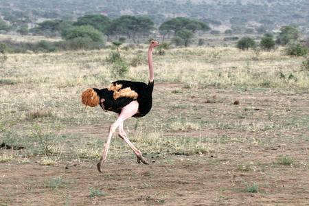 conservation grazing: Ostrich Male Running