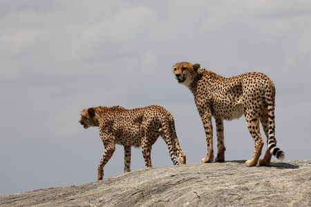 cheetahs: Two cheetahs on a rock