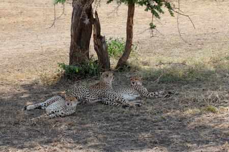cheetahs: Three cheetahs resting under a tree in the savannah