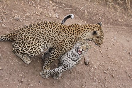 cuddles: Cuddles between leopards - mother and daughter
