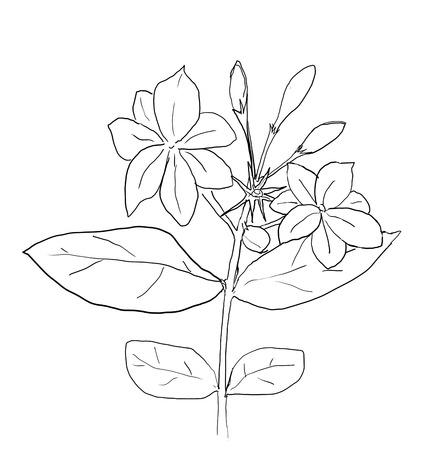 dessin fleur: arabian fleur de jasmin ligne de dessin art Banque d'images