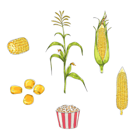 Corn hand drawn vector set  art illustration