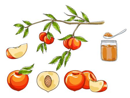 peach hand drawn  art vector fruit set illustration