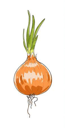onion hand drawn painting vector art illustration Illustration