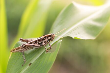 fruition: Grasshopper eating corn