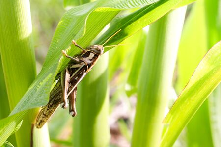 fruition: Grasshopper eating corn