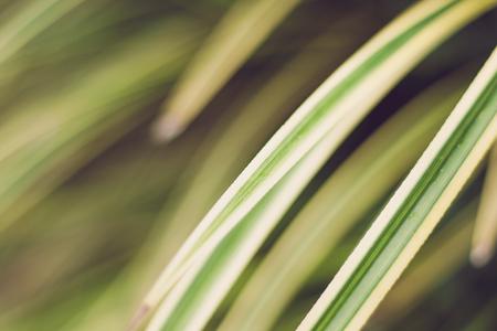 yellowish: Leaves yellowish green close up background, Plant background Stock Photo