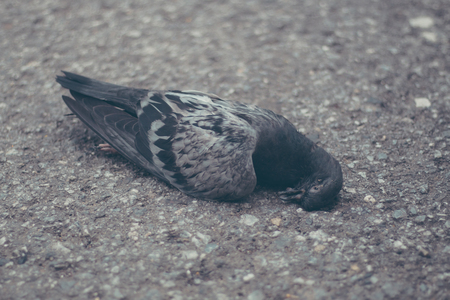 side of the road: Pigeon lying dead on the side road