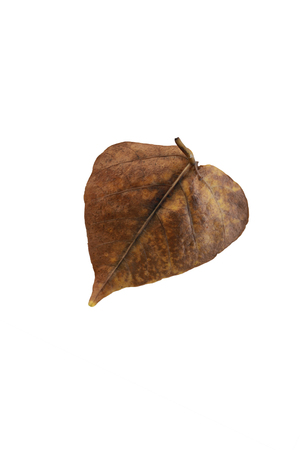 bod: Bod hi leaf dry white background.