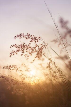 flowers sun: Silhouette of grass flower on sunset background.