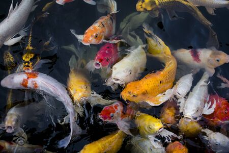 koi: Koi fish, Colorful fancy fish closeup swimming at pond.