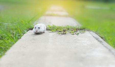 Hamster winterwit run op cement Stockfoto