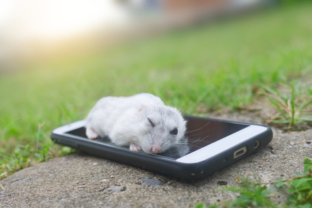 Hamster winter white sleeping on smart phone