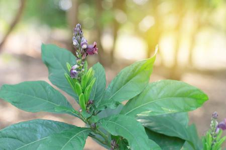 Phlogacanthus Pulcherrimus kwiat z zielonymi liśćmi. Gang Dee Plaa.