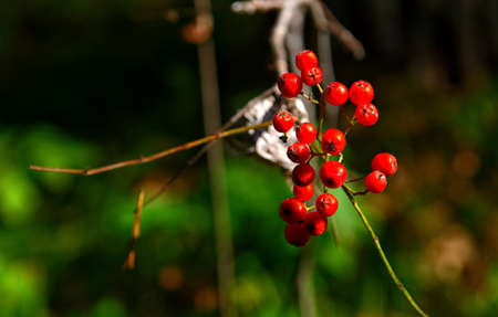 a bunch of mountain ash in an autumn forest Stock Photo