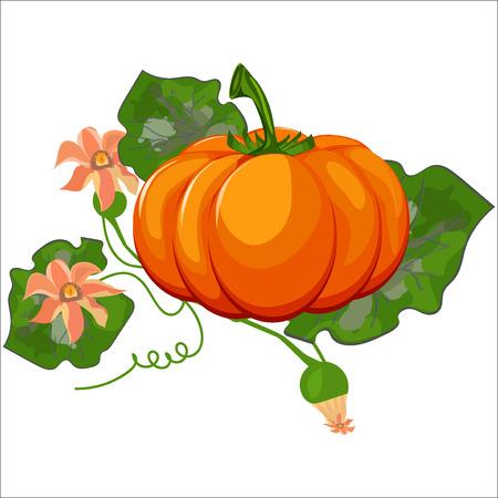 pumpkin seeds: Fresh orange halloween pumpkin isolated on white . Orange autumn food fresh pumpkin vegetable holiday decoration. Seasonal ripe isolated pumpkin fresh october halloween symbol. Illustration