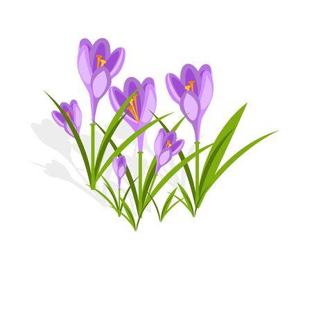 Purple crocuses in the snow vector.
