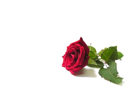 Red flower isolated on white with green leaves Stock Photo - 1716420