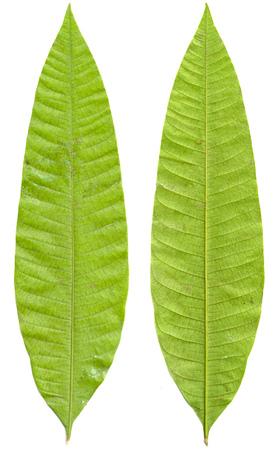 Green mango leaves isolated on white background photo