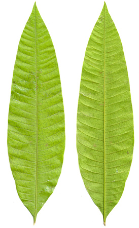 willow trees: Green mango leaves isolated on white background