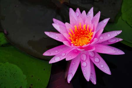 pink waterlily at Phatumthani Province, Thailand photo