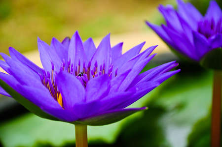 may lily: purple waterlilies at Phatumthani Province, Thailand