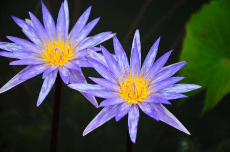 purple waterlily at Phatumthani Province, Thailand photo