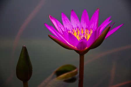 purple waterlily at Phatumthani Province, Thailand