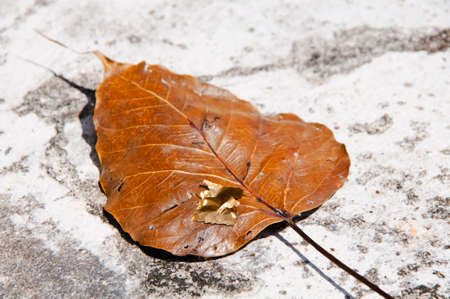 Dry Pipal leafs on the stone