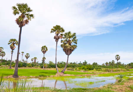 Sugar palms trees and rice field in Thailand photo