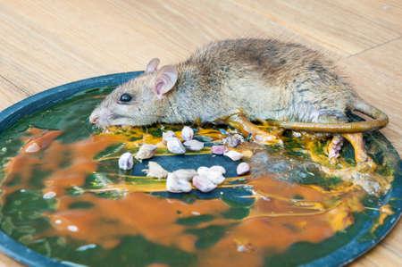 pegamento: Rat�n en la trampa de rat�n de cola